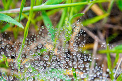 Web with drops of dew and a spider on Royalty Free Stock Image