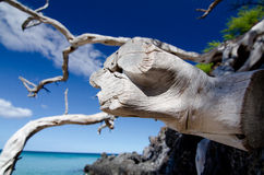 Web of dry wood branches over lava rocks at Beach 69 Stock Photography