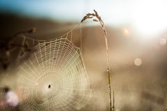 Web on the ear. Cobwebs on the Golden spikelet Royalty Free Stock Photos