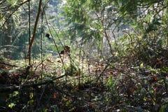 Web en árboles en Oregon Fotos de archivo