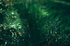 Web en gras in dauw stock foto's