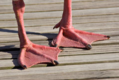 Web Feet Stock Image