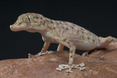 Web fingered gecko Royalty Free Stock Photo
