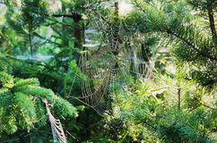 The web on fir branches Royalty Free Stock Photography