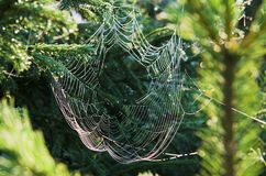 The web on fir branches Royalty Free Stock Photo