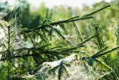 The web on fir branches Stock Photography