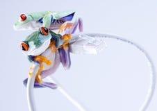 Web-Frosch Lizenzfreie Stockfotografie