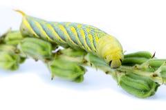 Web-gusano del sésamo (SP de Ceroprepes.) Fotos de archivo