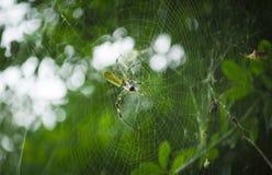 Web Maker spider 2 Stock Photo