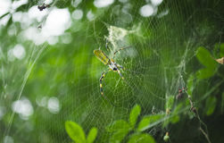 Web Maker spider Royalty Free Stock Photos