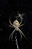 Web makers. A spider making a web with baby spider Stock Photography