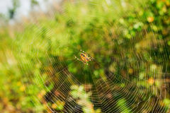 The web with orange spider in the center. Royalty Free Stock Photography
