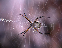 Web spider. Spider in my garden Stock Photo