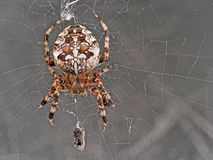 Web spider Fotografia Stock