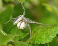 Web spider de crèche (mirabilis de Pisaura) avec le sac d'oeufs image libre de droits