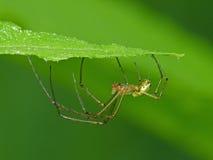 Web spider de esfera sob uma folha Fotos de Stock Royalty Free