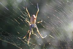 Web spider de oro Fotografía de archivo libre de regalías