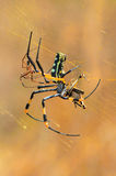 Web spider de oro de orbe Imágenes de archivo libres de regalías