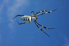 Web spider de oro de orbe Imagen de archivo