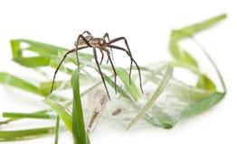 Web spider del cuarto de niños, mirabillis de Pisaura Fotografía de archivo libre de regalías