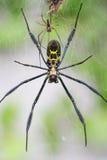 Web spider del globo di Goldern Immagini Stock
