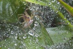 Web spider della scuola materna Fotografia Stock