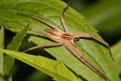 Web spider della scuola materna (mirabilis di Pisaura) Immagine Stock