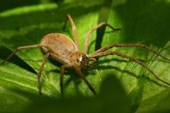 Web spider do berçário (mirabilis de Pisaura) Imagens de Stock