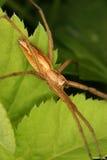 Web spider do berçário (mirabilis de Pisaura) Imagem de Stock