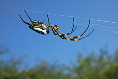 Web spider dourado de esfera imagens de stock