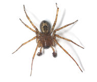 Web spider isolated on white background Stock Photography