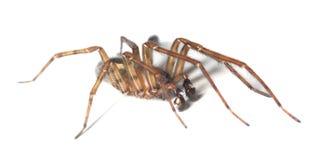 Web spider isolated on white background Stock Image