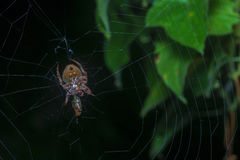 The web. Spider Night Shot with black background Royalty Free Stock Photo