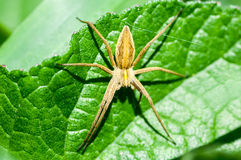 Web spider nursary del retrato invertebrado Fotografía de archivo libre de regalías