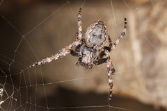 Web spider waiting for prey. Stock Photo