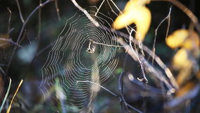 Web spider at wind stock video footage