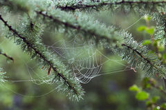 The web stretched on the branches larch. Selective focus. Royalty Free Stock Photo