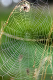 The web is stretched between tall grass stems. The web, which is stretched between tall grass stems Stock Photo