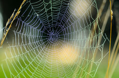 The web is stretched between tall grass stems. The web, which is stretched between tall grass stems Stock Photos