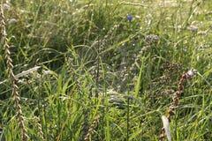 Web sur l'herbe dans les baisses de la rosée images stock