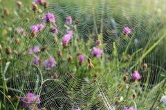 Web sur l'herbe dans les baisses de la rosée photographie stock