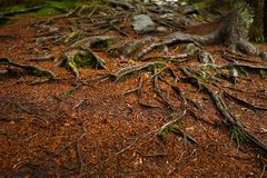 A web of tree roots growing over rocks next to a hiking trail. A wooden bench and table in background. Royalty Free Stock Images