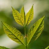 Web verde de la hoja y de araña Foto de archivo libre de regalías