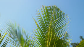 Web of young coconut tree beautiful shivers in wind Royalty Free Stock Image