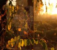 Webb de la araña Imágenes de archivo libres de regalías