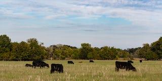 Webbanner van de commerciële koeien van Angus royalty-vrije stock afbeelding