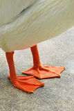 Webbed Feet. A photo taken on the webbed feet of a duck at a park Stock Images