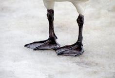 Webbed feet. A whooper Swans webbed feet Stock Images