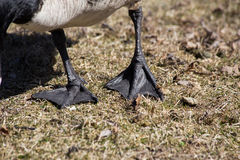 Webbed goose feet Royalty Free Stock Images