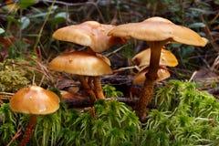 Webcap champinjoner Royaltyfri Foto